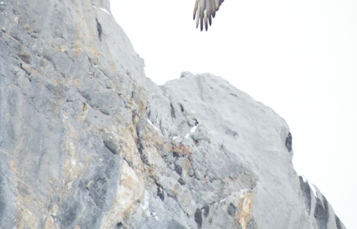 image du gypaete barbu en voyage photo en Haute-Savoie